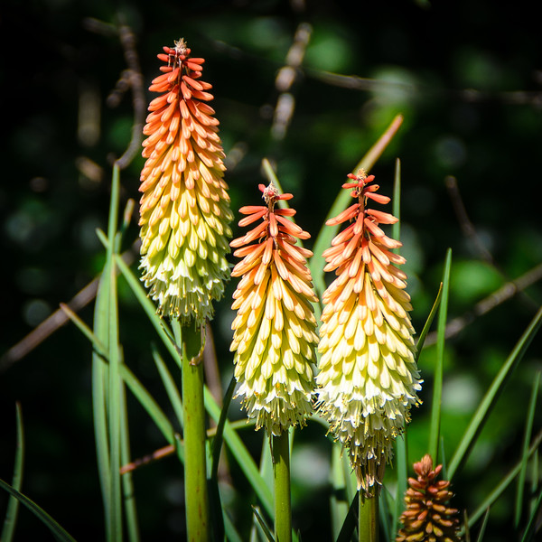 Red Hot Poker in the Italian Garden @ Biltmore Estate - Asheville, NC