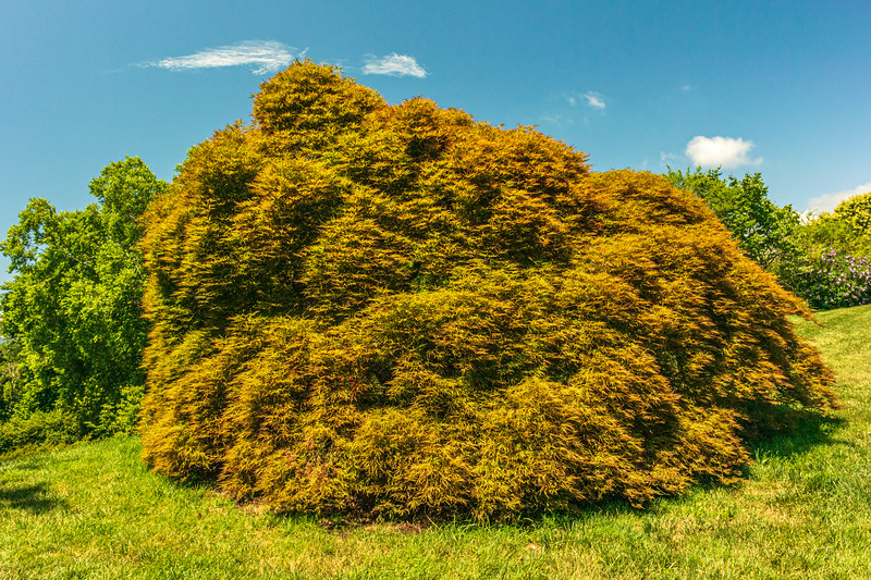 Japanese Maple in the Spring Garden @ Biltmore Estate - Asheville, NC