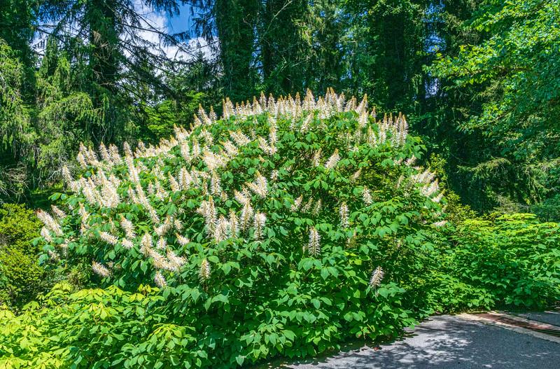 Bottlebrush Buckeye (Aesculus parviflora) in the Azalea Garden @ Biltmore Estate - Asheville, NC