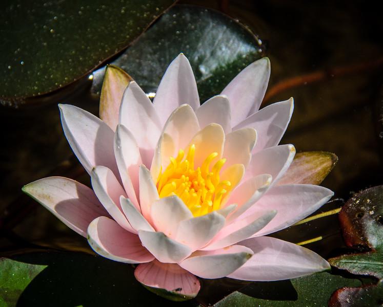 Water Lily in the Italian Garden @ Biltmore Estate - Asheville, NC