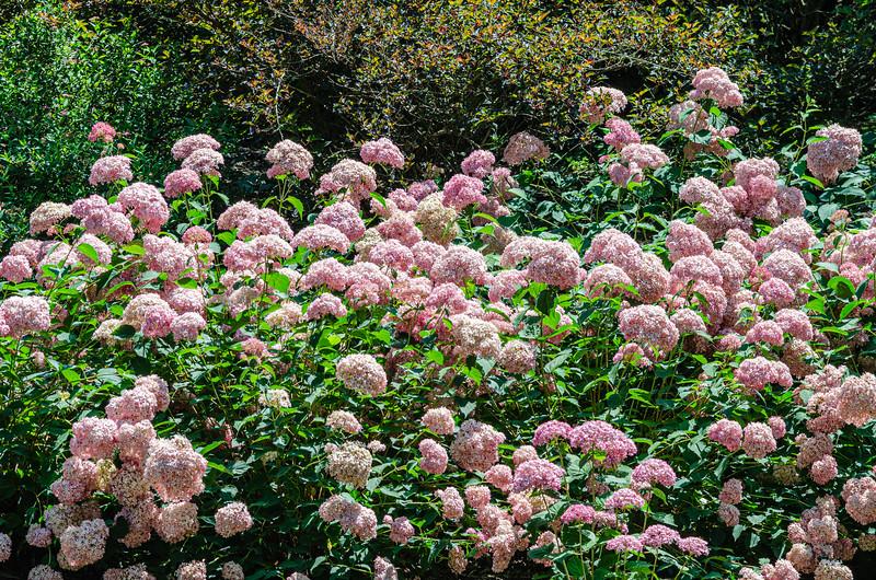 Hydrangea (?) in the Spring Garden @ Biltmore Estate - Asheville, NC