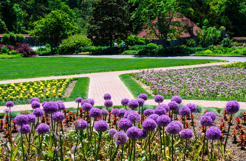 Purple Alliums in the Walled Garden @ Biltmore Estate - Asheville, NC