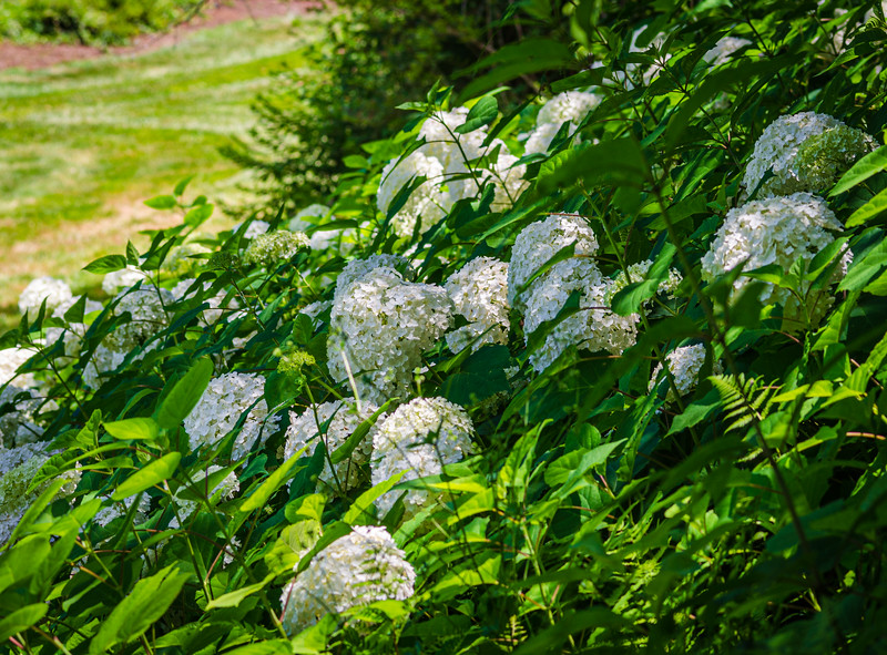 Annabelle Smooth Hydrangea in the Spring Garden @ Biltmore Estate - Asheville, NC