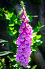 Foxglove in the Walled Garden @ Biltmore Estate - Asheville, NC