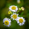 Fleabane @ MP 372.1 on the Blue Ridge Parkway - Asheville, NC