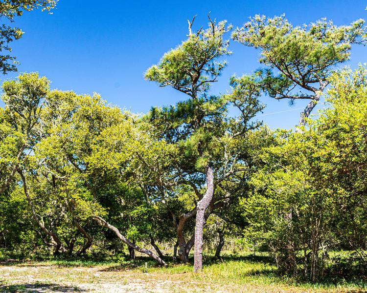 Trees @ British Cemetery - Avon, NC, USA