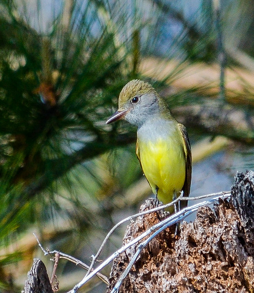 Great Crested Flycatcher II - Frisco, NC