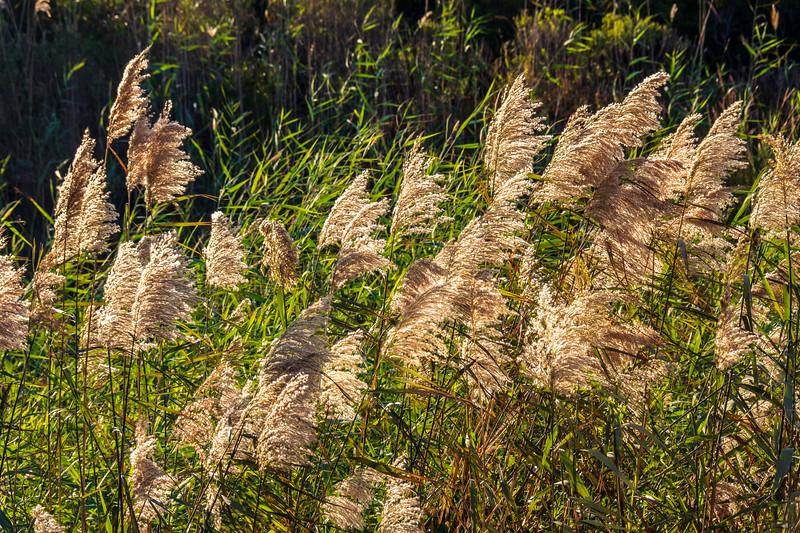 Beach Grass - Nags Head, NC
