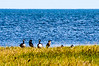 Canada Geese & Double-crested Cormorant @ Sandy Bay Day Use Area - Hatteras, NC