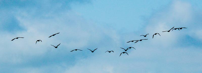 Formation of Cormorants - Hatteras, NC