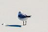 Sanderling Keeping Warm - Hatteras, NC