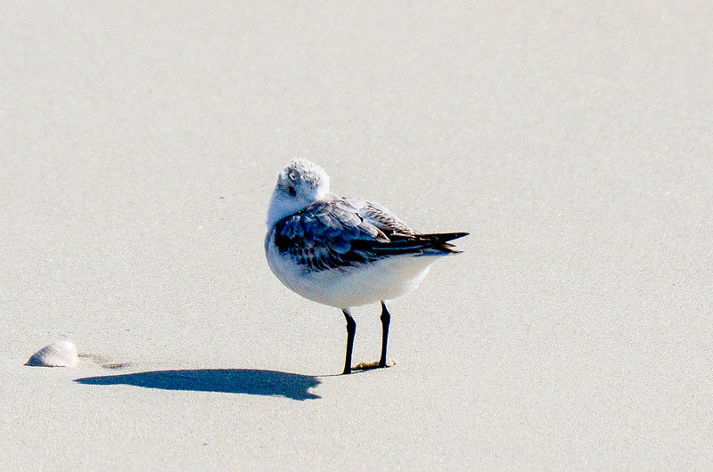 Sanderling Keeping Warm - Hatteras, NC