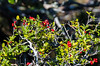 Yaupon Holly @ Hatteras Village Park - Hatteras, NC