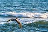 juvenile Brown Pelican - Hatteras, NC
