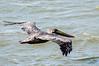adult Brown Pelican - Hatteras, NC