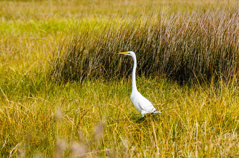 Great Egret @ Sandy Bay Day Use Area - Hatteras, NC