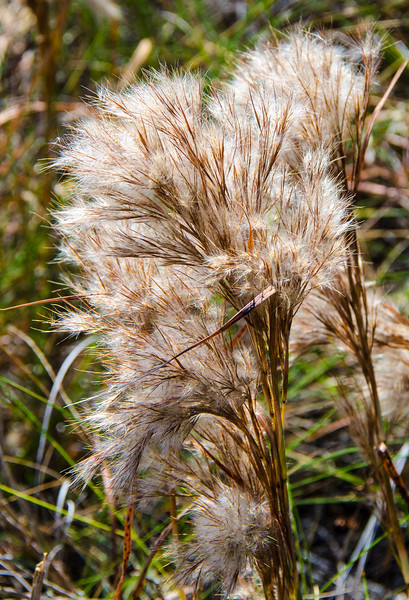Common Reed @ Hatteras Village Park - Hatteras, NC