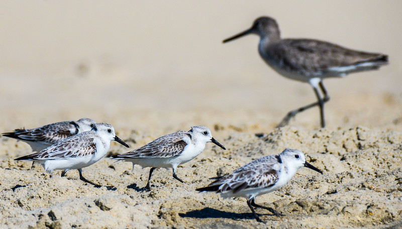 Sanderlings - Hatteras, NC