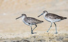 Pair of Willets - Hatteras, NC