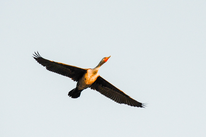 Double-crested Cormorant - Hatteras, NC