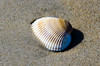 Sea Shell - Hatteras, NC