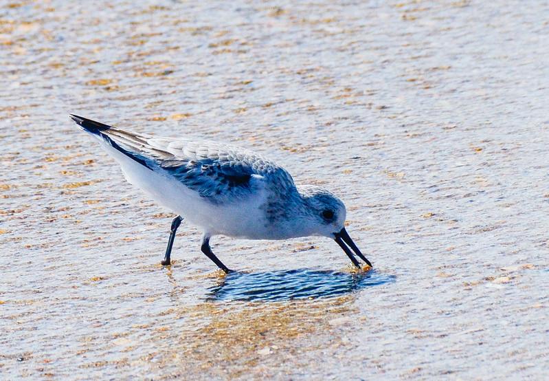 Sanderling Feeding - Hatteras, NC