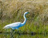 Great Egret Wading II - The Slash, Hatteras, NC