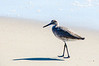 Walking Willet - Hatteras, NC