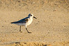 Walking Sanderling - Hatteras, NC