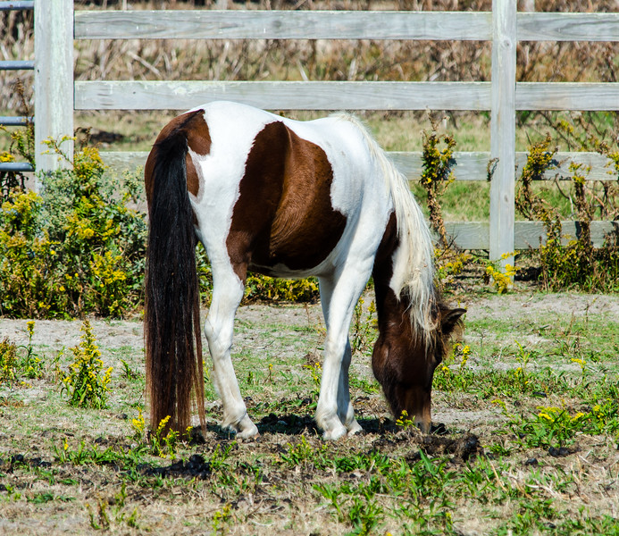 Ocracoke Pony Pens - Ocracoke, NC