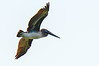 juvenile Brown Pelican - Ocracoke, NC