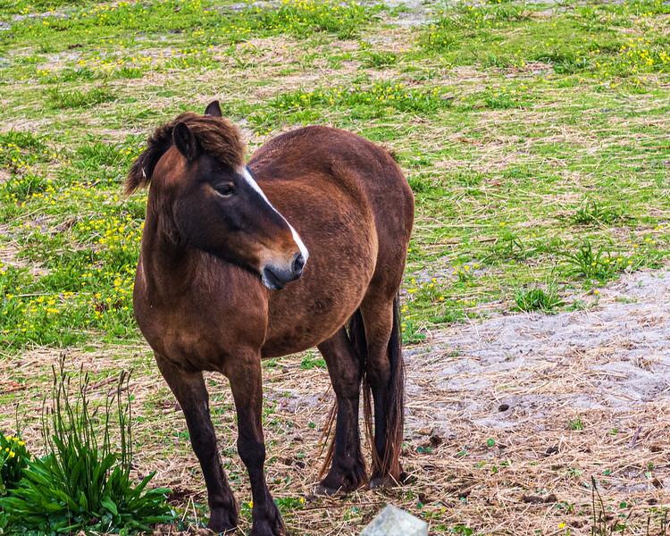 Descendant of the Wild Ponies of Ocracoke - Ocracoke, NC, USA