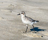 Black-bellied Plover @ ORV Ramp 70 - Ocracoke, NC