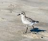Black-bellied Plover @ ORV Ramp 70 - Ocracoke, NC