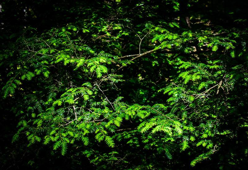 Hemlock on Moore Cove Trail in Pisgah National Forest - Brevard, NC