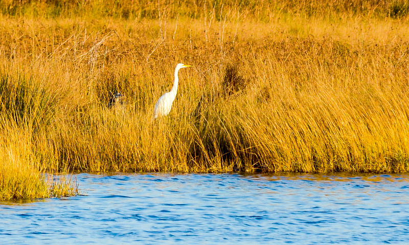 Great Egret with possible Night Heron @ North Pond, Pea Island NWR - Rodanthe, NC