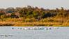 American White Pelicans @ North Pond, Pea Island NWR - Rodanthe, NC