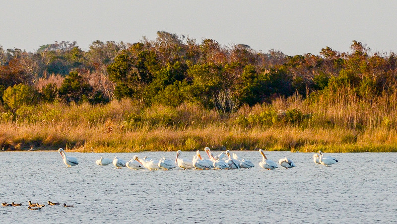 American White Pelicans @ North Pond, Pea Island NWR - Rodanthe, NC