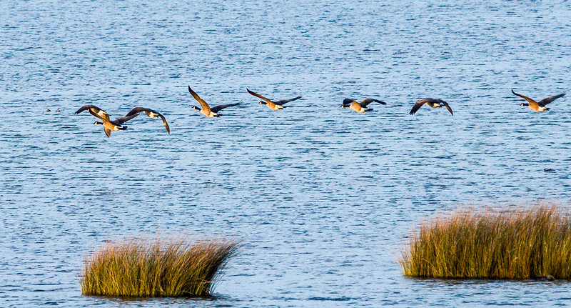 Canada Geese in Flight over North Pond, Pea Island NWR - Rodanthe, NC