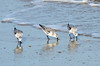 Sanderlings @ ORV Ramp 25 - Salvo, NC