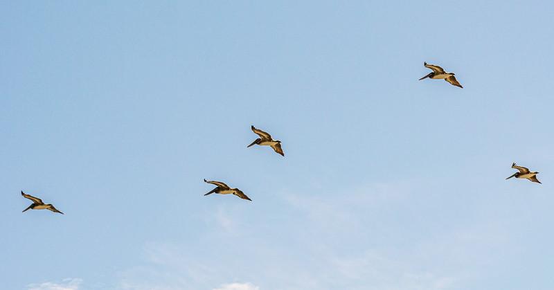 juvenile Brown Pelicans - Sunset Beach, NC, USA