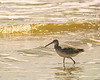 Willet - Sunset Beach, NC, USA