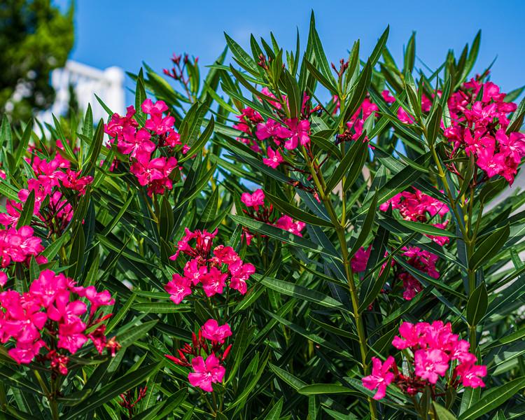 Late Blooming Azaleas - Sunset Beach, NC, USA