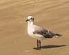 nonbreeding adult Laughing Gull - Sunset Beach, NC, USA