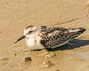 Sanderling - Sunset Beach, NC, USA