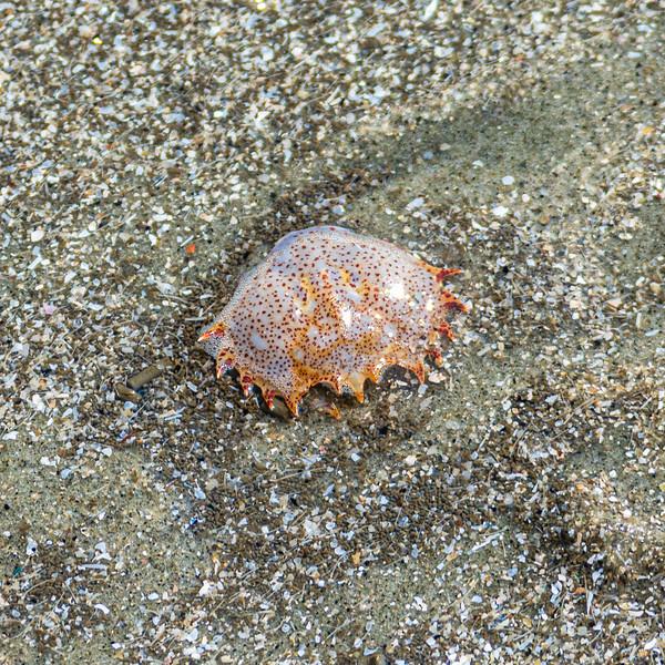 Jellyfish - Sunset Beach, NC, USA
