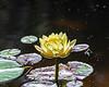 Water Lily 3 @ Brookgreen Gardens - Murrells Inlet, SC, USA