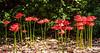 Spider Lily (Lycoris radiata) ? @ Brookgreen Gardens - Murrells Inlet, SC, USA