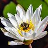 Water Lilly 1 @ Brookgreen Gardens - Murrells Inlet, SC, USA
