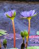Water Lily 4 @ Brookgreen Gardens - Murrells Inlet, SC, USA